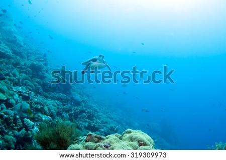 Sea Turtle swimming under the sea, Nusa Lembongan Island, Bali,  Indonesia. - stock photo