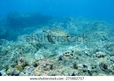 Sea turtle swimming underwater. - stock photo