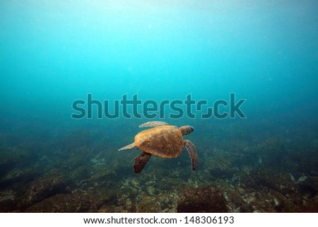 Sea turtle swimming underwater in the Galapagos Islands - stock photo