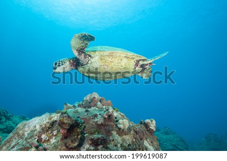 Sea Turtle Swims Above the Reef - stock photo