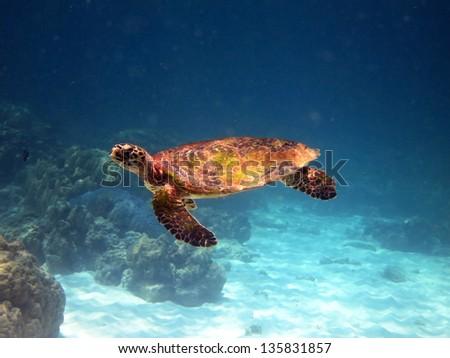 sea turtle underwater - stock photo