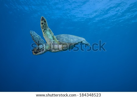 Sea Turtle Underwater in Mid Flight - stock photo