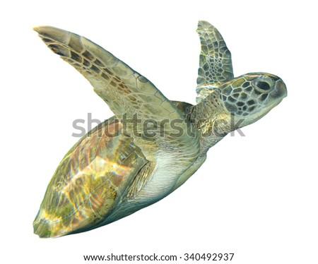 Sea Turtle white background - stock photo