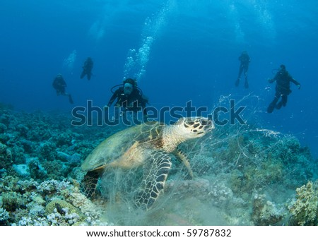 sea turtle with scuba divers in background - stock photo