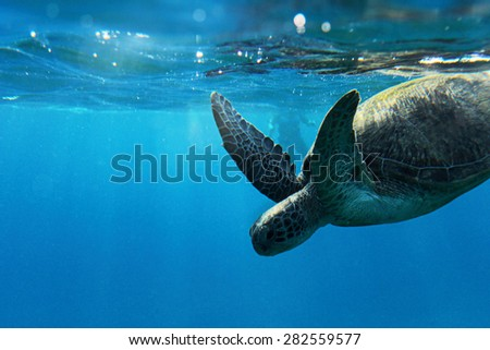 Sea Turtle with Sunlight in water - stock photo