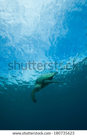 Sea Turtle with surface of the water behind him - stock photo