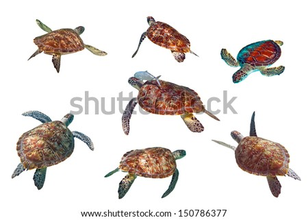 Sea turtles isolated over white - stock photo