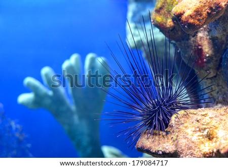 Sea urchin Diadema setosum on a stone in a marine aquarium in Sochi, Russia - stock photo