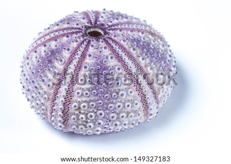 Sea urchin shell - stock photo