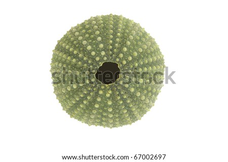 Sea urchin shell isolated on a white background. - stock photo