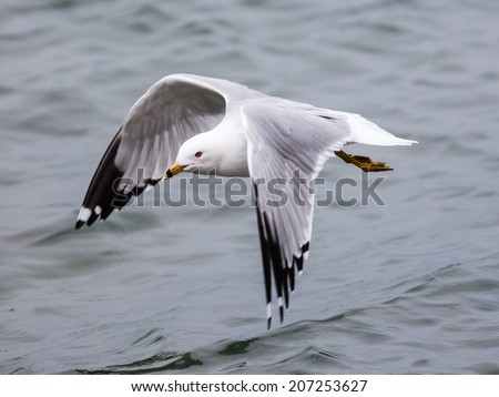 Seagull above water with wings open. - stock photo