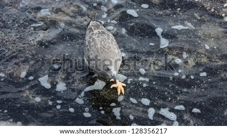 Seagull and small Star fish on the shoreline of Rhode Island. - stock photo