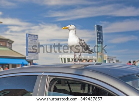 Seagull Bird Sitting On Top of the Car Roof in San-Francisco.United States Of America. Horizontal Image - stock photo