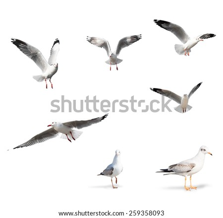Seagull Birds Isolated on White Background - stock photo