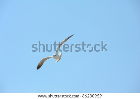 seagull flying action - stock photo