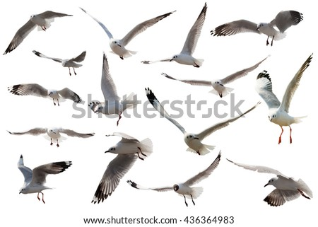 seagull flying on white background and clipping path - stock photo