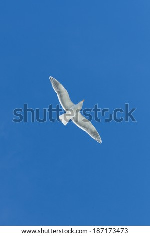 Seagull flying under blue sly - stock photo