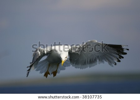 seagull hunting - stock photo