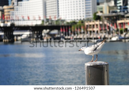 Seagull in Darling Harbour, Sydney - stock photo