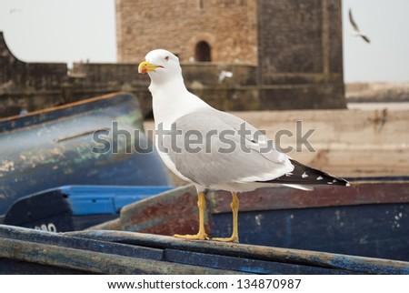 Seagull in Essaouira - stock photo