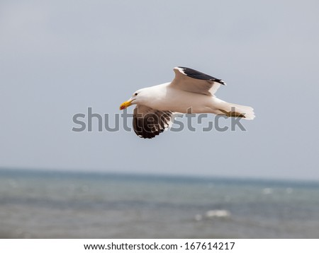 Seagull in flight at Cape Cross (Namibia) - stock photo