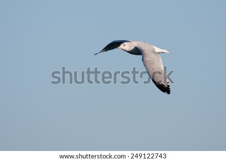 Seagull in flight looking for a meal. - stock photo