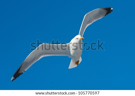 seagull in flight on a beautiful day - stock photo