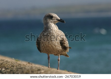 Seagull in St. Ives, Cornwall, England - stock photo