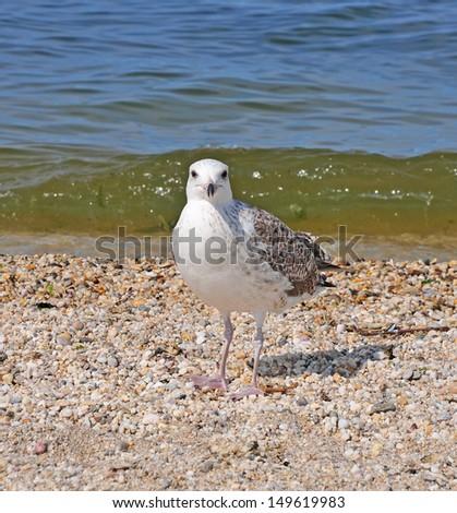 Seagull: Juvenile Herring Gull (First Winter) - stock photo