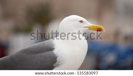 Seagull (Larus occidentalis) - stock photo