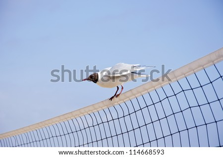 seagull (Larus ridibundus) on volleyball net in resort - stock photo