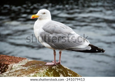 seagull on a harbor wall - stock photo