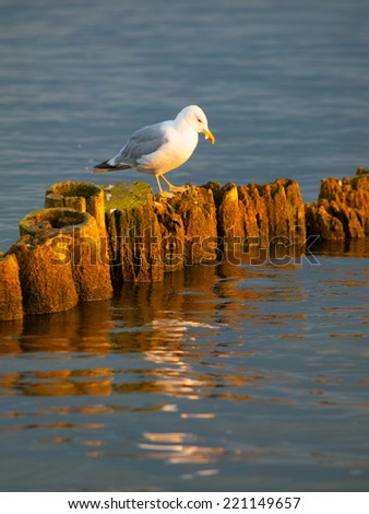 Seagull sitting on a pillar at sunset time - stock photo