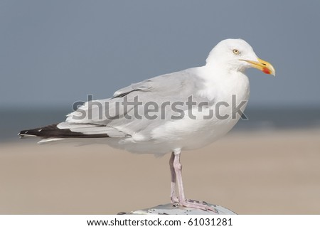 Seagull sitting on a pole with a beach in the blurred background - stock photo