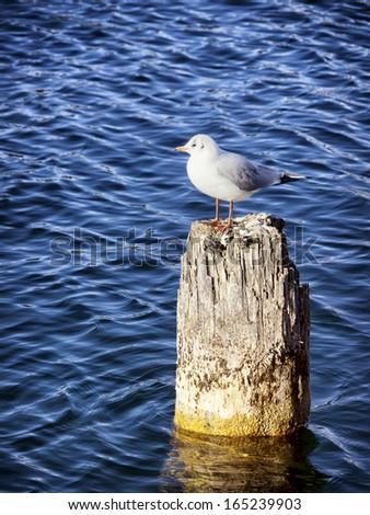 seagull sitting on an old bollard - stock photo