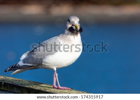 Seagull with Mussel in Mouth - stock photo