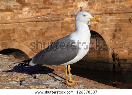 Seagull with the bridge of the historical port Skala in the background. Essaouira, Marrakesh Morocco - stock photo