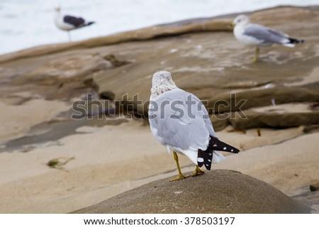 Seagulls along a rocky coastline at La Jolla Beach in San Diego California. - stock photo
