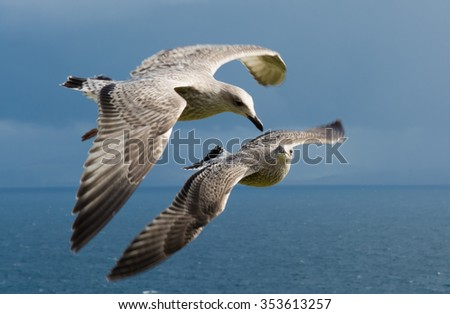 Seagulls Flying Formation - stock photo