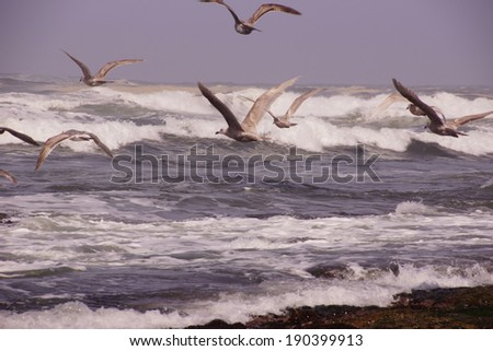 Seagulls flying out over incoming surf  near Otter Rock, 	Oregon coast  - stock photo
