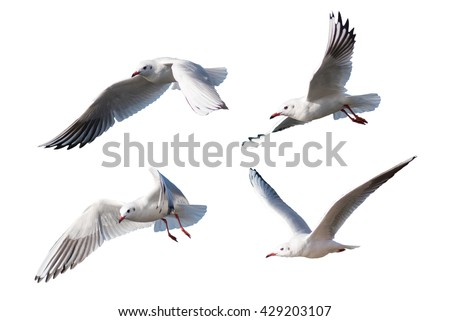Seagulls flying style Isolated on white background,clipping path. - stock photo