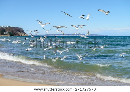 Seagulls hunt for small fish in the shallow Baltic Sea next to Baabe village on island Rugen, Northern Germany - stock photo