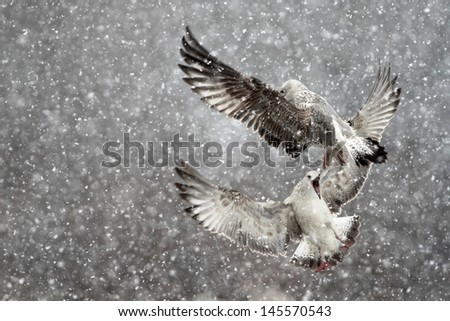 seagulls in a blizzard - stock photo