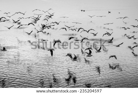 Seagulls in motion, black and white fine art image - stock photo