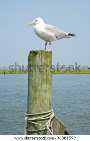 Seagulls on a Piling in Virginia - stock photo
