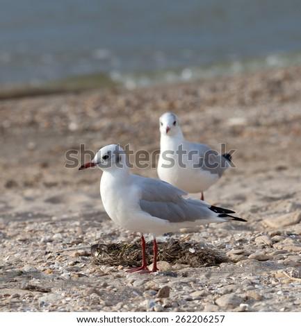 Seagulls on sea beach. Closu-up view. - stock photo