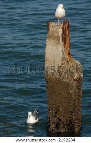 Seagulls & piling in the bay, San Francisco, California - stock photo