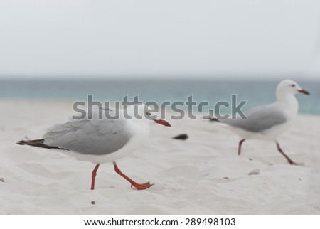 Seagulls running for a morsel on the beach  - stock photo