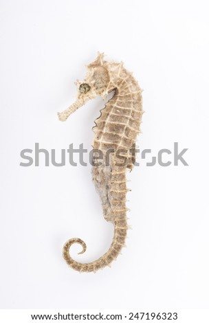 Seahorse in front of white background  - stock photo