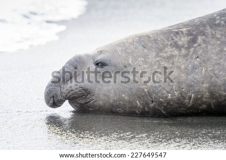 Seal close view in South Georgia - stock photo